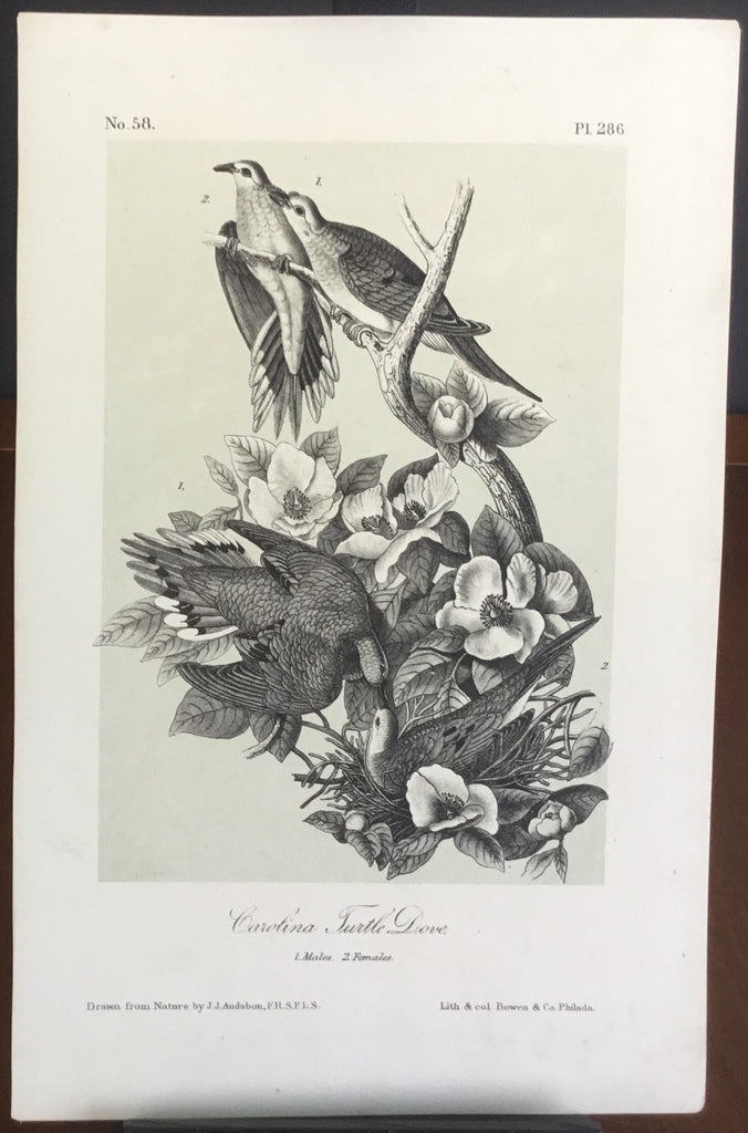 Audubon Octavo Carolina Turtle Dove (2), plate 286, uncolored test sheet, 7 x 11