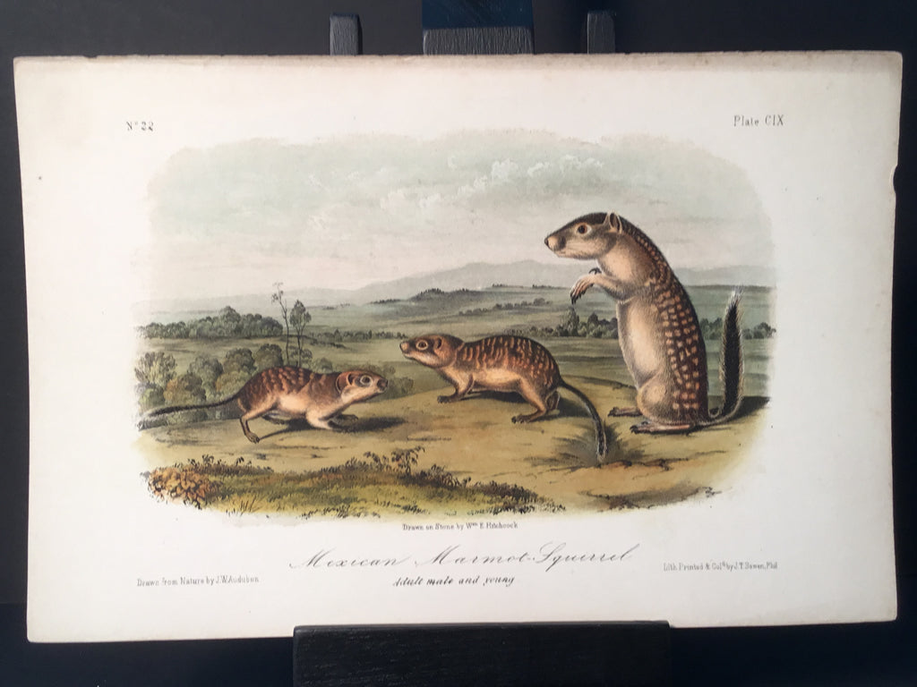 Lord-Hopkins Collection - Mexican Marmot Squirrel