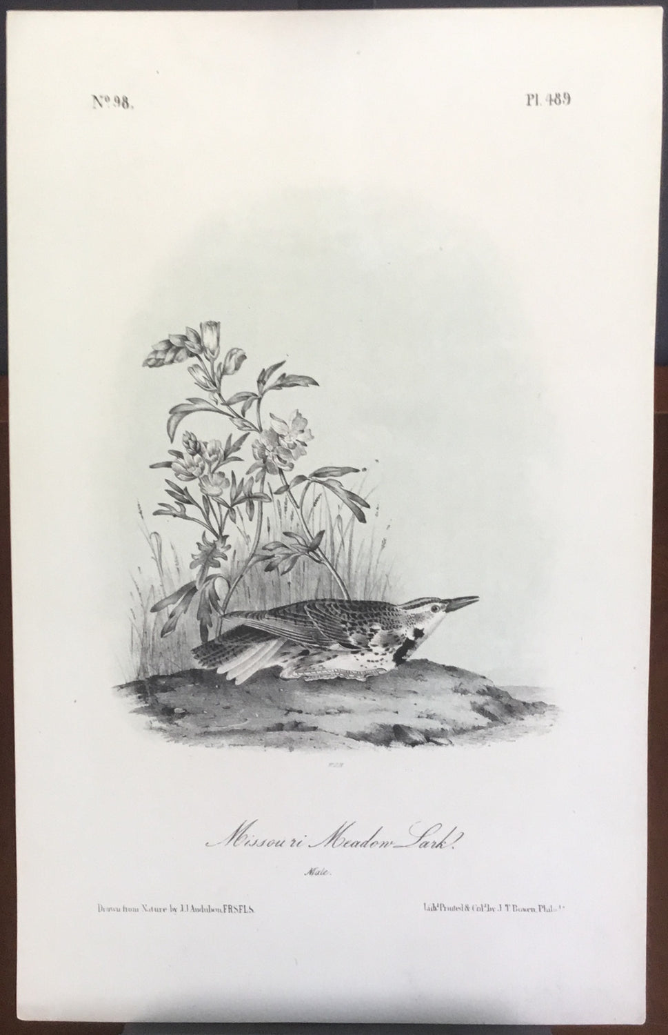 Audubon Octavo Missouri Meadow Lark, plate 489, uncolored test sheet, 7 x 11