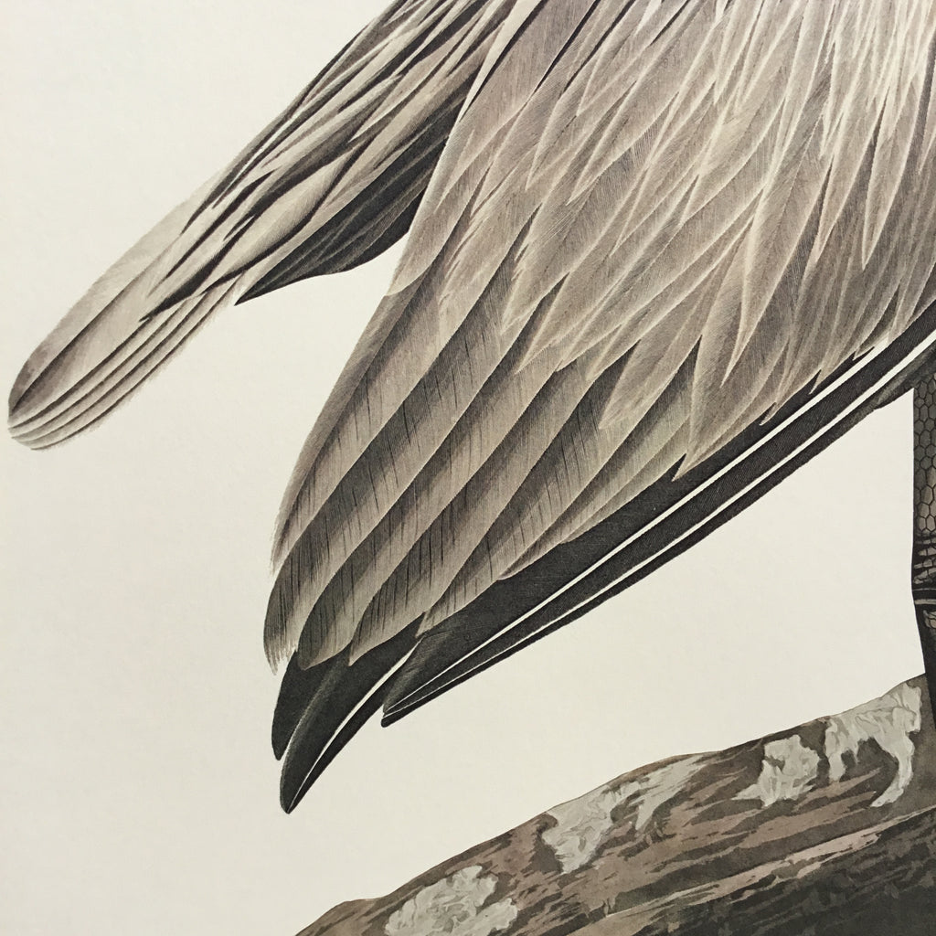Princeton Audubon Brown Pelican. The world's only direct camera image of Audubons original. 26 1/4 x 39 1/4.