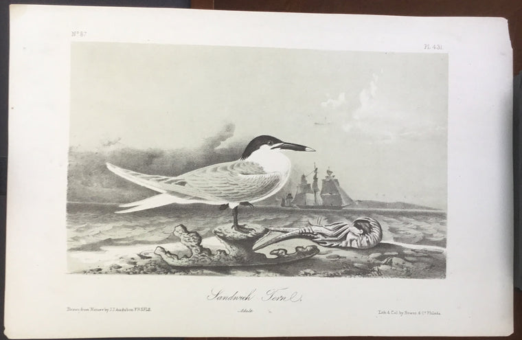 Audubon Octavo Sandwich Tern (2), plate 431, uncolored test sheet, 7 x 11