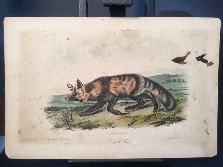 Lord-Hopkins Collection - Jackall Fox
