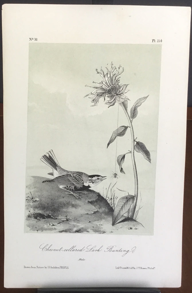 Audubon Octavo Chestnut-collard Lark Bunting, plate 154, uncolored test sheet, 7 x 11