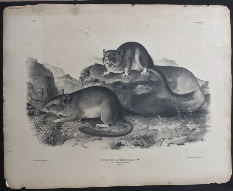 Lord-Hopkins Collection, Audubon Original Imperial plate 29, Rocky Mountain Neotoma