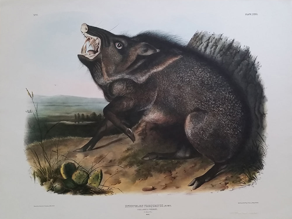 Princeton Imperial Collard Peccary