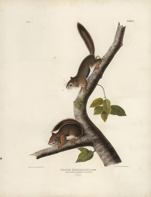 Original Imperial Richardson's Colombian Squirrel, plate 5