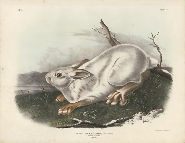 Original Imperial Northern Hare - Winter, plate 12