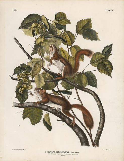 Original Imperial Hudson's Bay Squirrel, plate 14