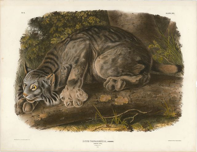 Audubon original Canada Lynx, plate 13 - The Chiswick Collection