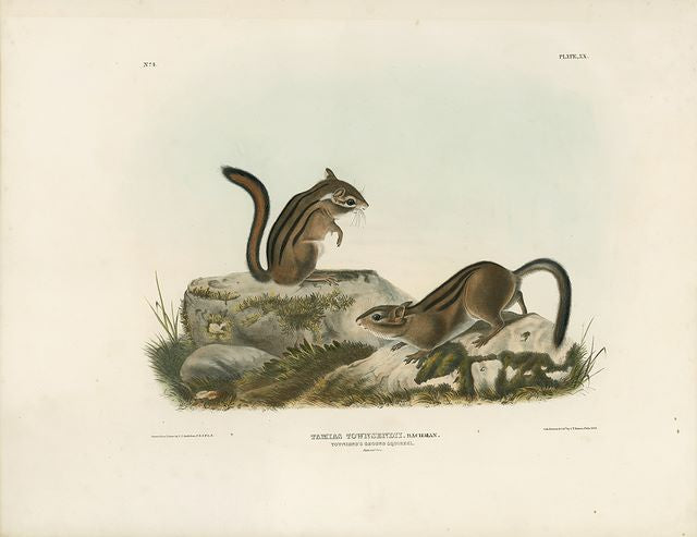 Original Imperial Townsend's Ground Squirrel, plate 20