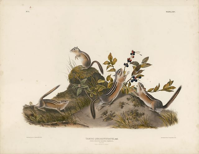 Original Imperial Four Striped Ground Squirrel, plate 24