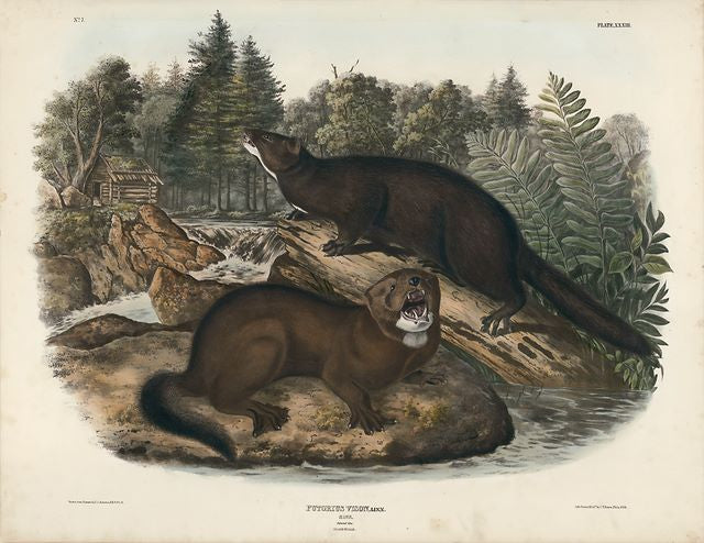 The Chiswick Collection, Audubon original Imperial plate 33 - Mink
