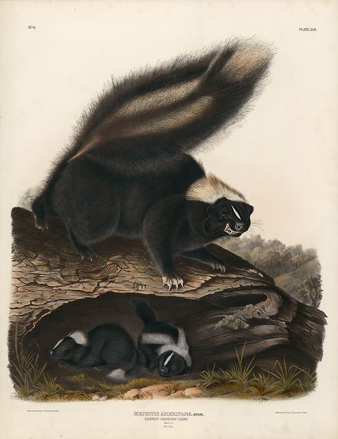 Original Imperial Common American Skunk, plate 42