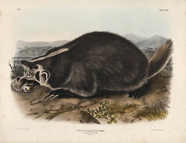 Original Imperial American Badger, plate 47