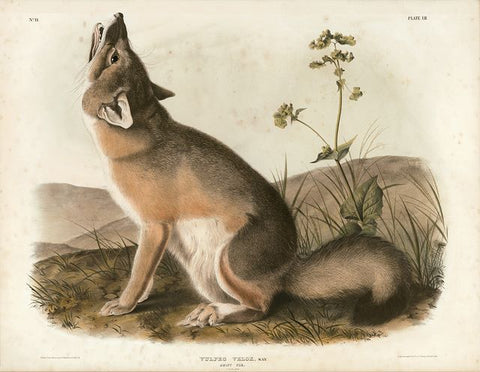 Original Imperial Swift Fox, plate 52