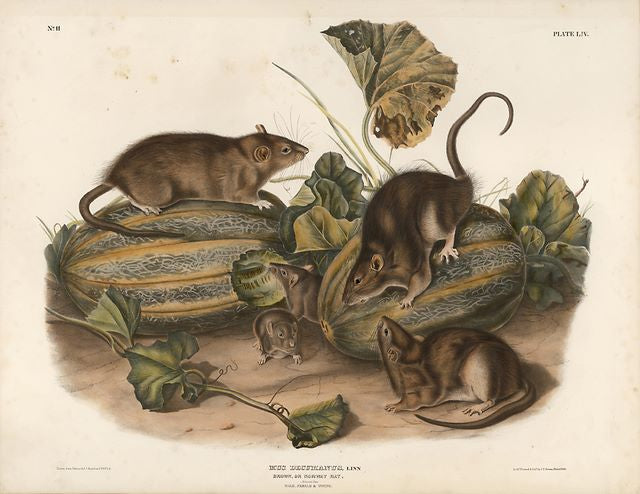 Original Imperial Brown or Norway Rat, plate 54