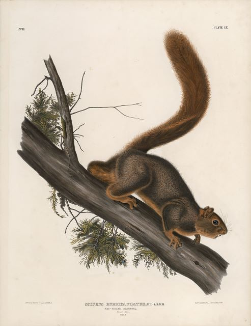 Original Imperial Red-tailed Squirrel, plate 55