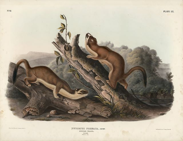 Original Imperial Bridled Weasel, plate 60
