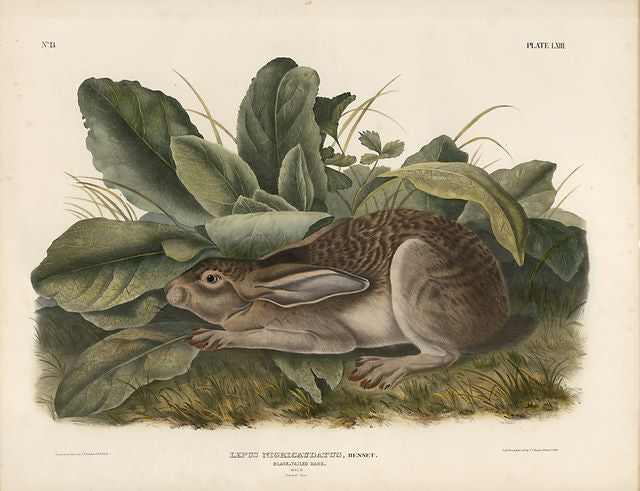 Original Imperial Black-tailed Hare, plate 63