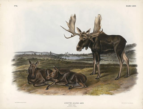 Original Imperial Moose Deer, plate 76
