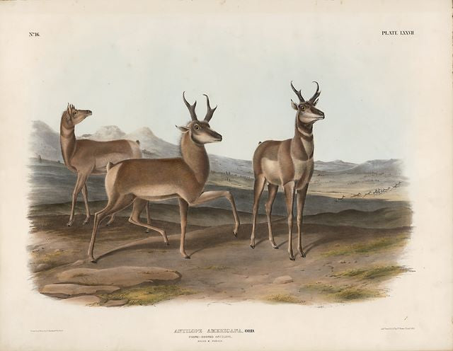 Original Imperial Prong-horned Antelope, plate 77
