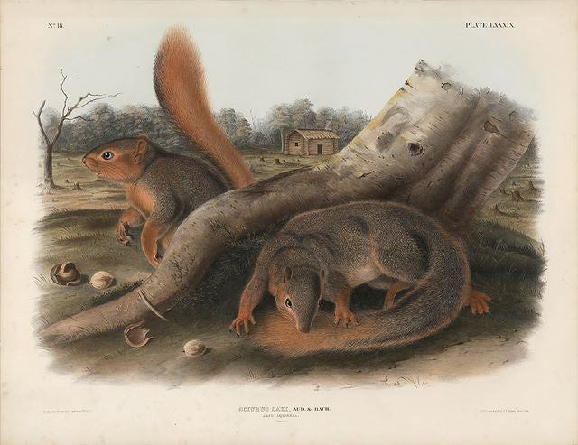 Original Imperial Say's Squirrel, plate 89
