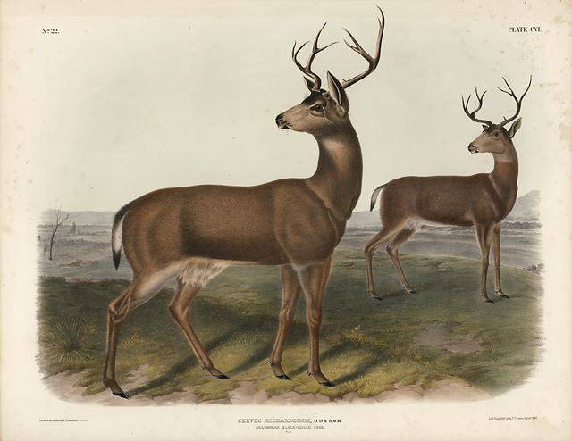 Original Imperial Colombian Black-tailed Deer, plate 106
