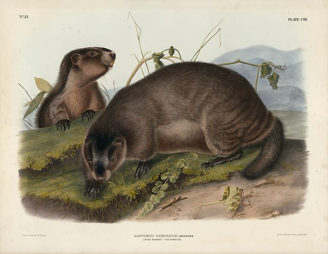 Original Imperial Hoary Marmot - The Whistler, plate 103