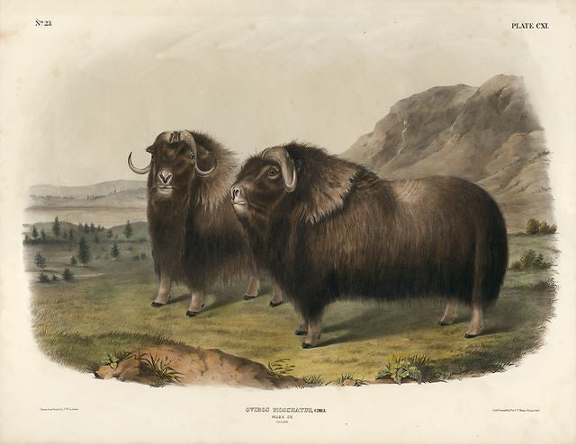 Original Imperial Musk Ox, plate 111
