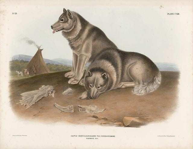 Original Imperial Esqimaux Dog, plate 113