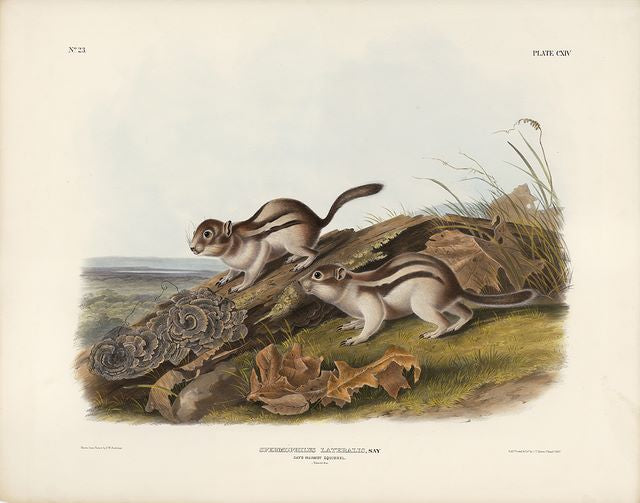 Original Imperial Say's Marmot Squirrel, plate 114