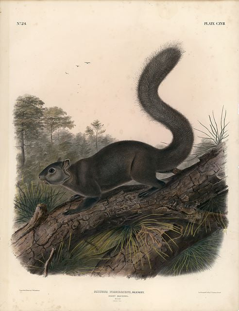 Original Imperial Dusky Squirrel, plate 117