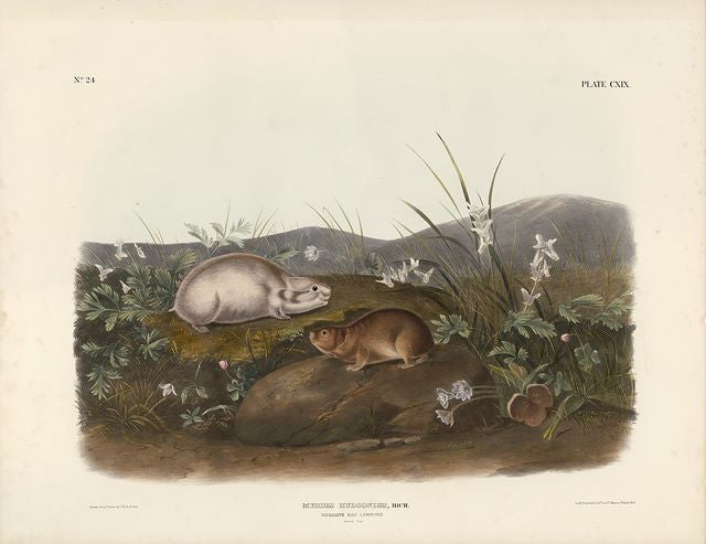 Original Imperial Hudson's Bay Lemming, plate 119