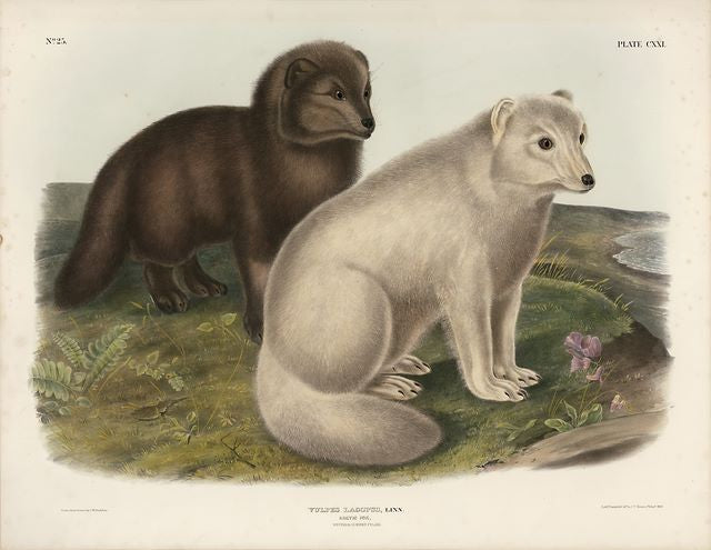 Original Imperial Artic Fox, plate 121