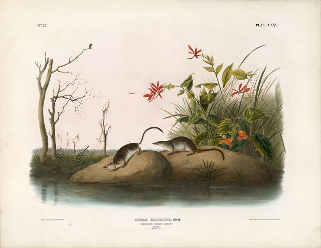 Original Imperial American Marsh Shrew, plate 125