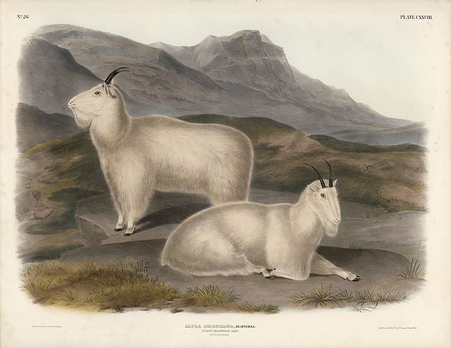 Original Imperial Rocky Mountain Goat, plate 128