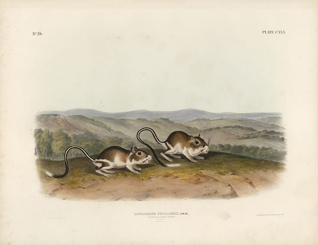 Original Imperial Pouched Jerboa Mouse, plate 130
