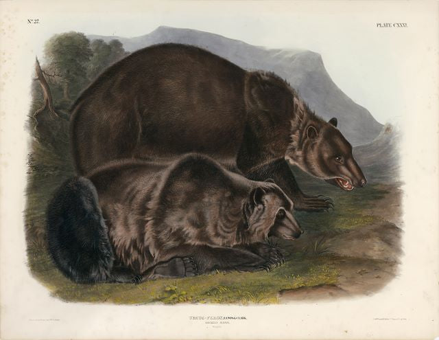 Original Imperial Grizzly Bear, plate 131. One of the rarest of Audubon's images. This is an actual Imperial original, 21 x 28 inches.