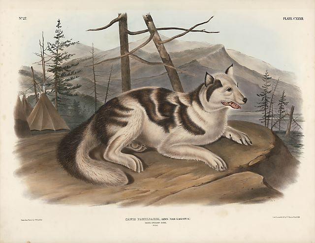 Original Imperial Indian Hare Dog, plate 132