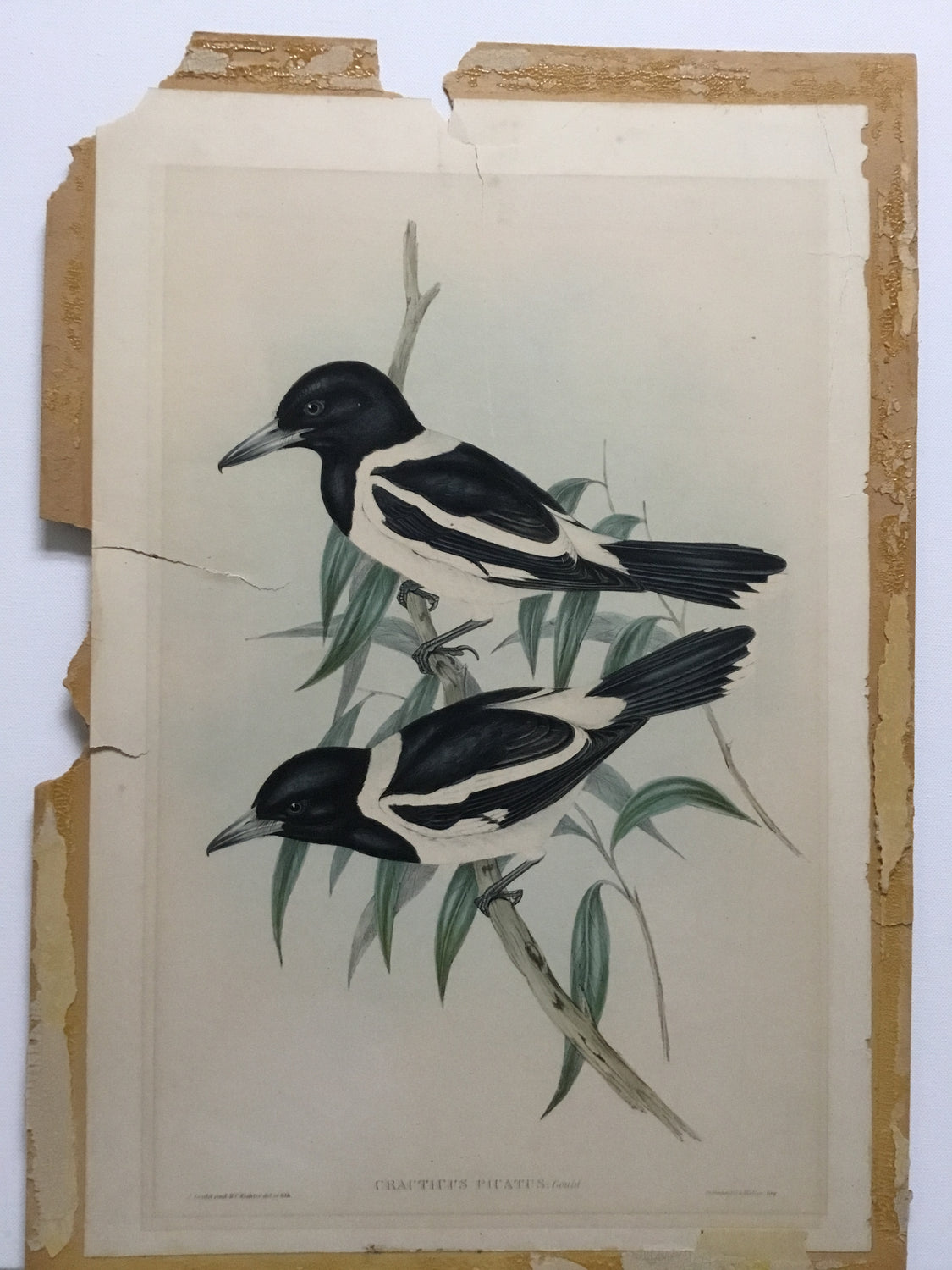 Special offer - John Gould Cracticus Picatus