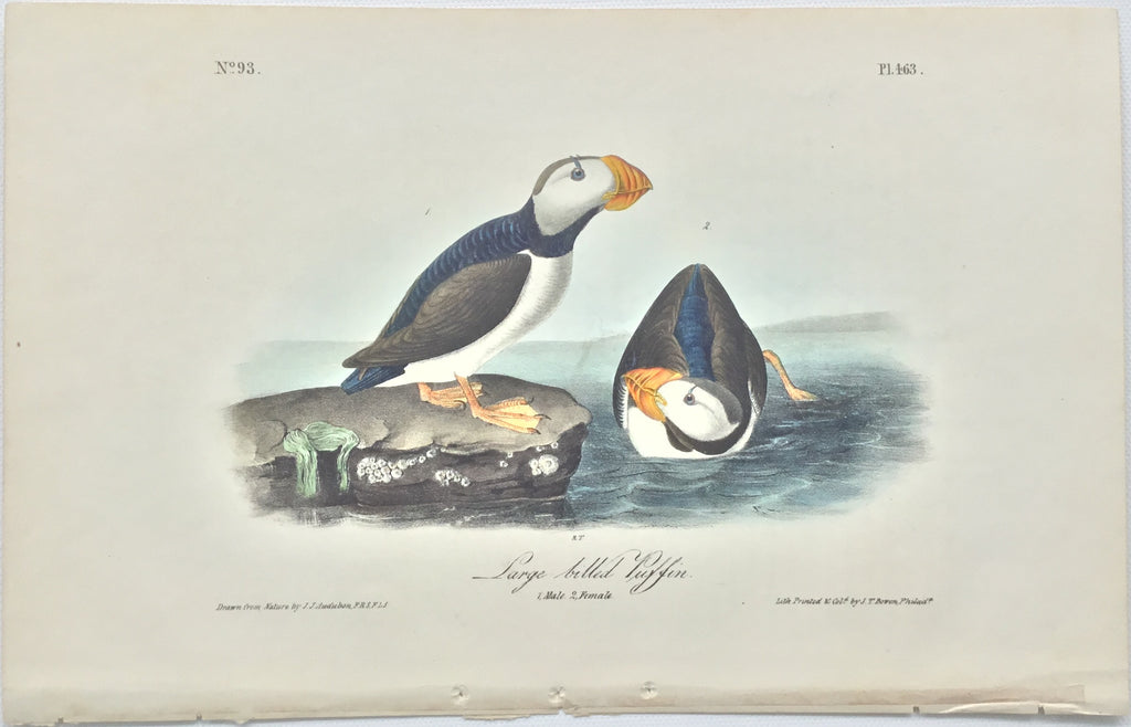 Original Audubon Octavo Large-billed Puffin, plate 463