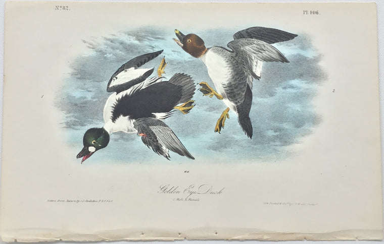Original Audubon Octavo Golden Eye Duck, plate 406