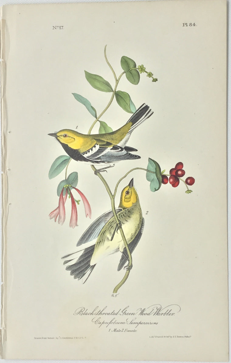 Original Audubon Octavo Black-throated Green Wood Warbler, plate 84