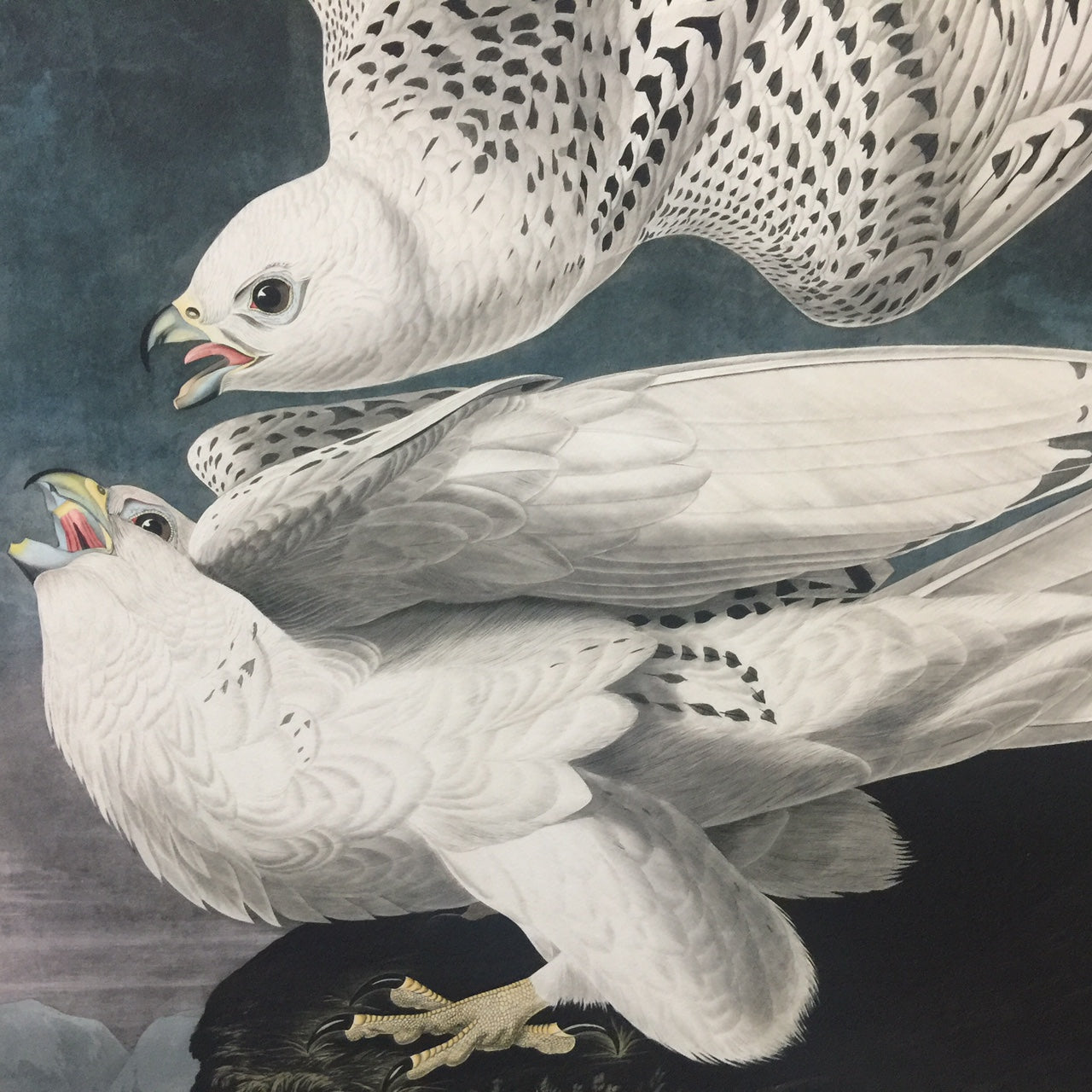 Rare Prints Gyrfalcon or Iceland Falcon, Edition of 500