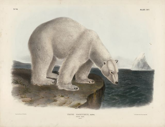 Original Imperial Polar Bear, plate 91 SOLD