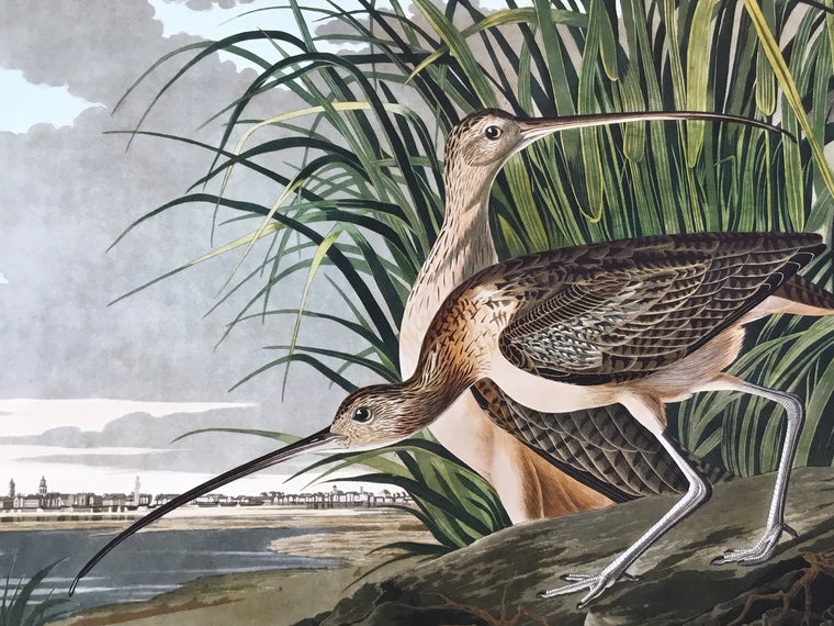Long-billed Curlew, plate 231