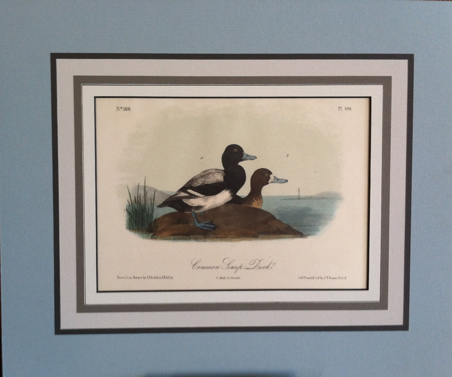 Audubon Original Octavo Matted, Common Scaup Duck, plate 498