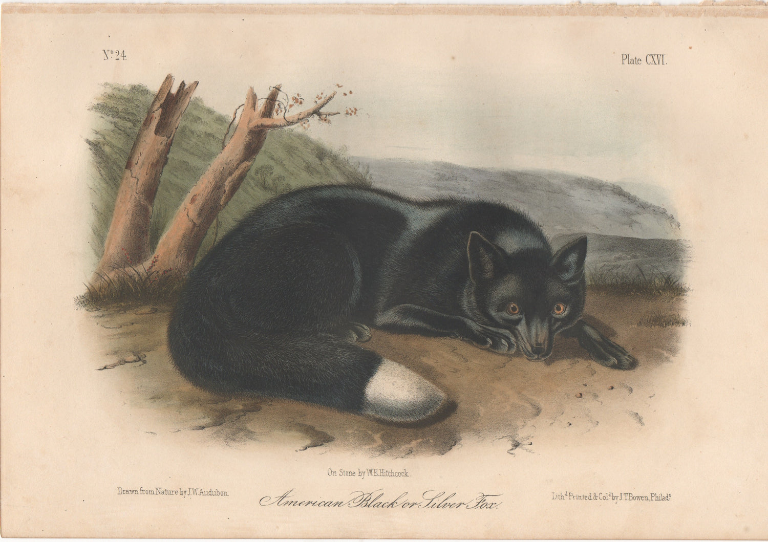 Audubon Original Octavo Mammal, Black or Silver Fox plate 115