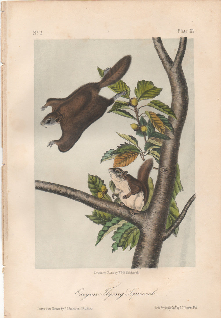 Audubon Original Octavo Mammal, Oregon Flying Squirrel, plate 15