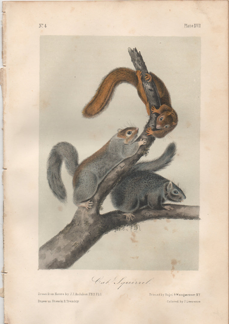 Audubon Original Octavo Mammal, Cat Squirrel, plate 17